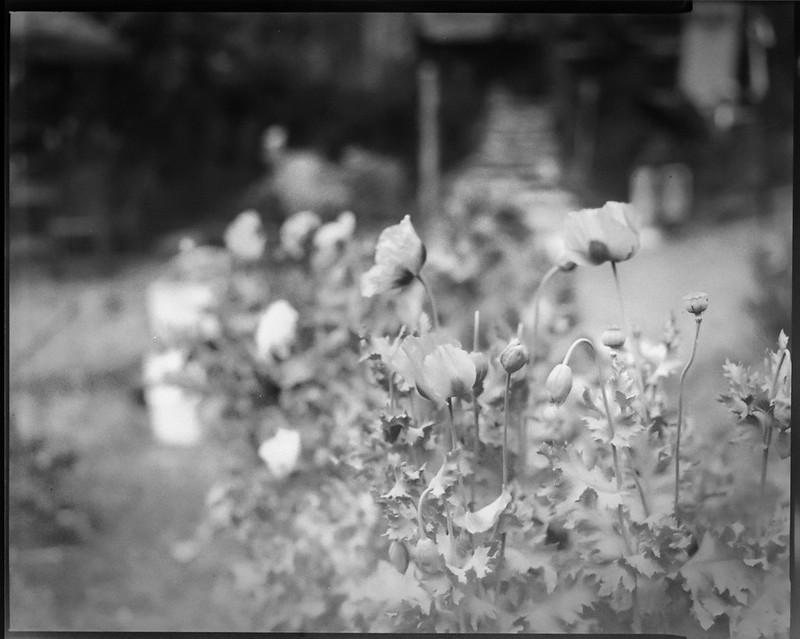 floral forms, gardens, found objects, toys, Burton Street Community Peace Gardens, West Asheville, NC, Graflex Crown Graphic, Schneider Symmar f-5.6, 150mm, Arista.Edu 400, HC-110 developer, 5.8.20