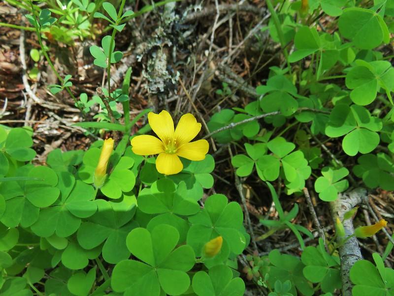 Western yellow oxalis