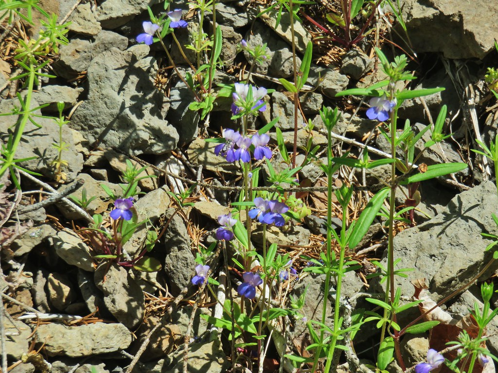 Giant blue-eyed Mary