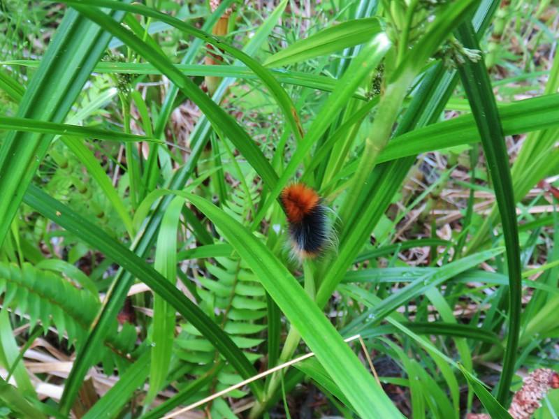 Woolley bear caterpillar
