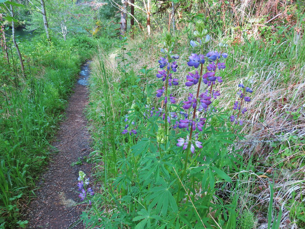 Lupine along the North Fork Trail