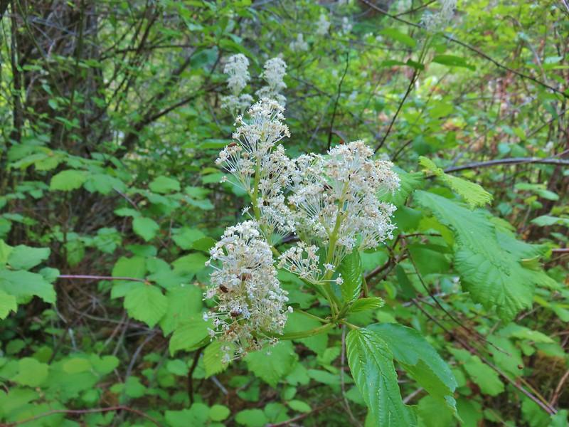 Buck Brush - redstem ceanothus