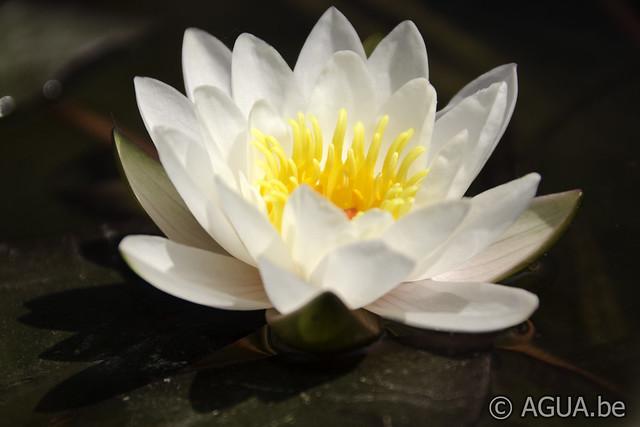 Waterlelie Carnuntum / Nymphaea Carnuntum