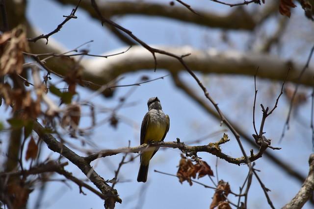 Western Kingbird at Garin