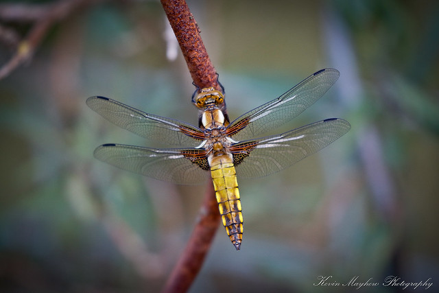Broad-bodied Chaser_82A1377