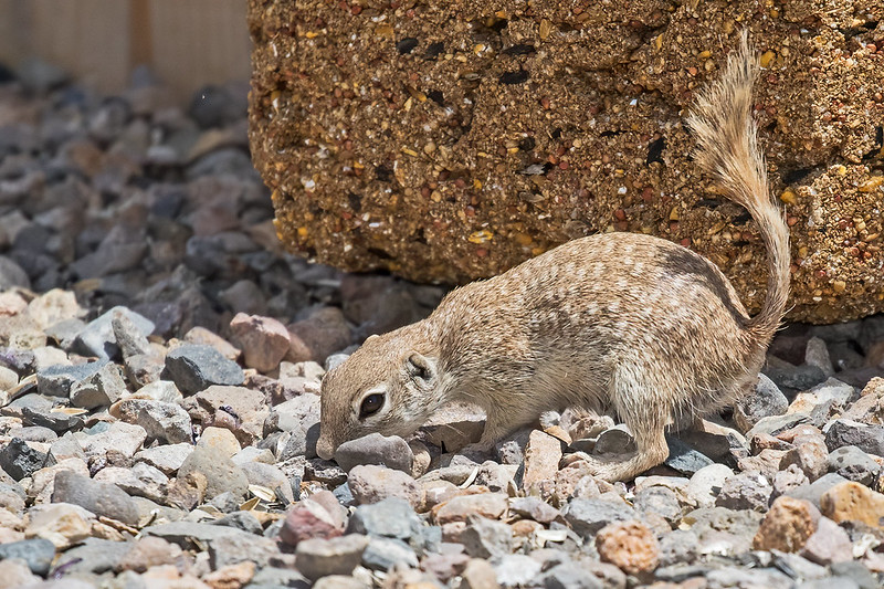Mexican-ground-squirrel-27-7D2-050820