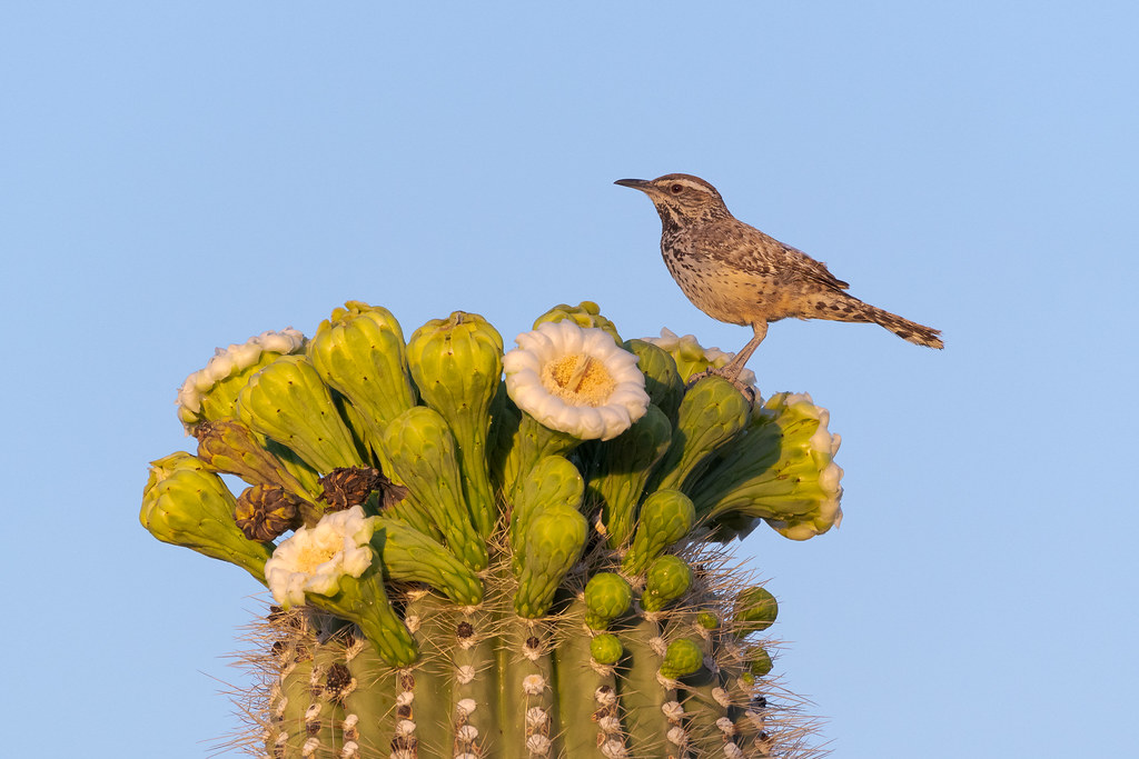 A cactus wren perches on a flower bud of a blooming saguaro on the Chuckwagon Trail early in the morning in McDowell Sonoran Preserve in Scottsdale, Arizona in May 2020