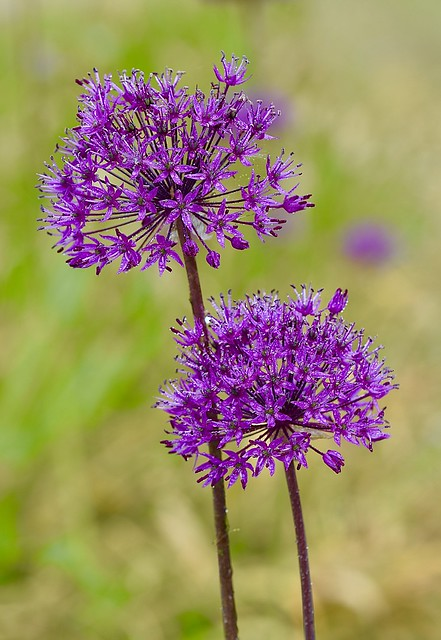Allium hollandicum 'purple sansation'