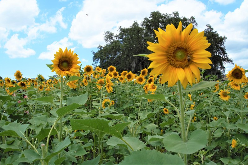 U-Pick Sunflowers, Sweetfields Farm, Brooksville, Fla., May 9,2020