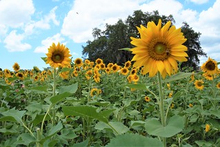 U-Pick Sunflowers, Sweetfields Farm, Brooksville, Fla., May 9,2020 | by JenniferHuber