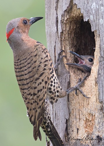 Northern Flicker with chick (in explore)