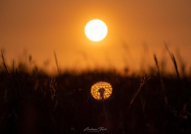 Dandelion's sun