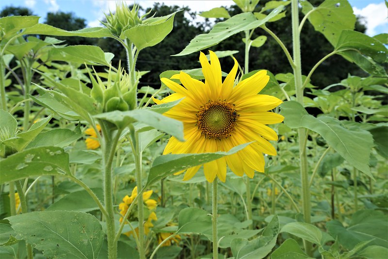U-Pick Sunflowers, HarvestMoon Fun Farm, May 9, 2020