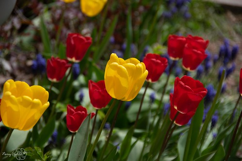 flowers ontario canada spring huroneast pentaxk3ii tulips