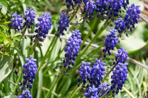 flowers spring huroneast pentaxk3ii ontario canada purple hyacinth