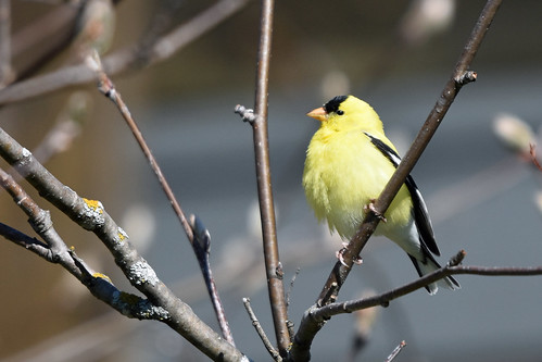 American goldfinch (Spinus tristis), Superior WI | by simon.ducatez