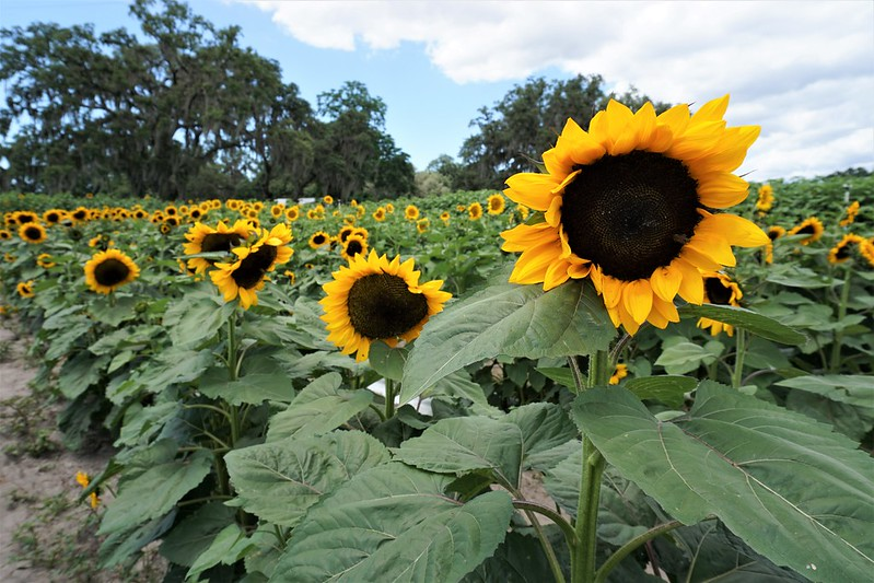 Sunflower Farms in Florida