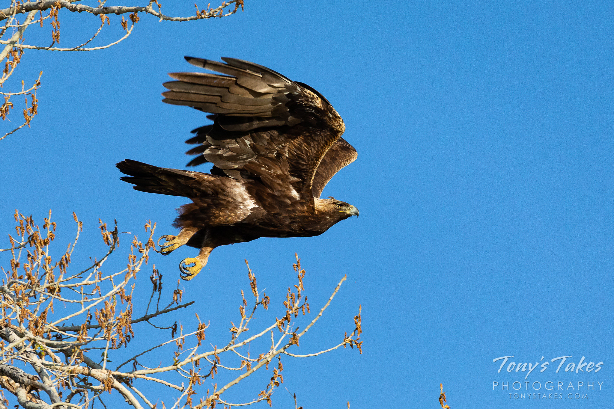 A male golden eagle takes to the skies in Boulder County, Colorado. (© Tony's Takes)
