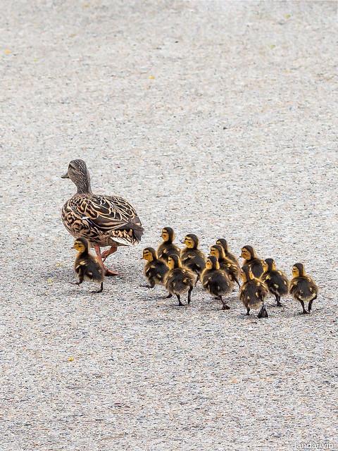 Ducks Roaming the City - Natural Leader (Explored 2020/05/01)