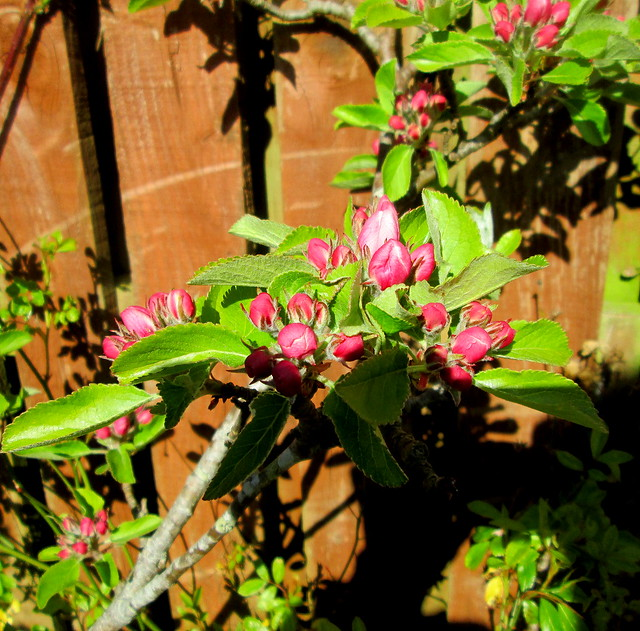 apple blossom, my garden
