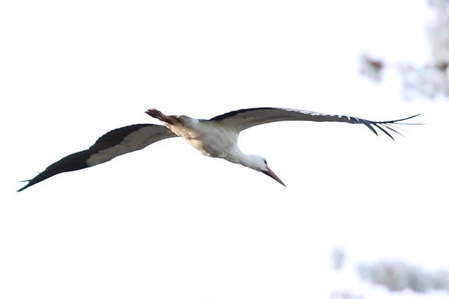 Stork Ooievaar