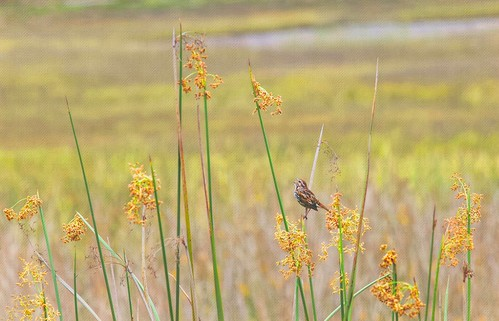 bird sandiego scenic sparrow wildflowers landscape lagoon grasses singing yellow flowers topaz texture california canvas brightcolors song exhibitionoftalent