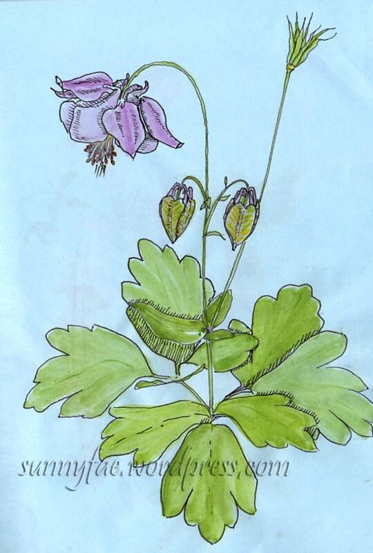 aquilegia plant