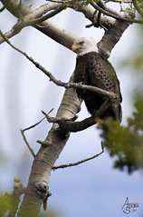 The Great American Bald Eagle