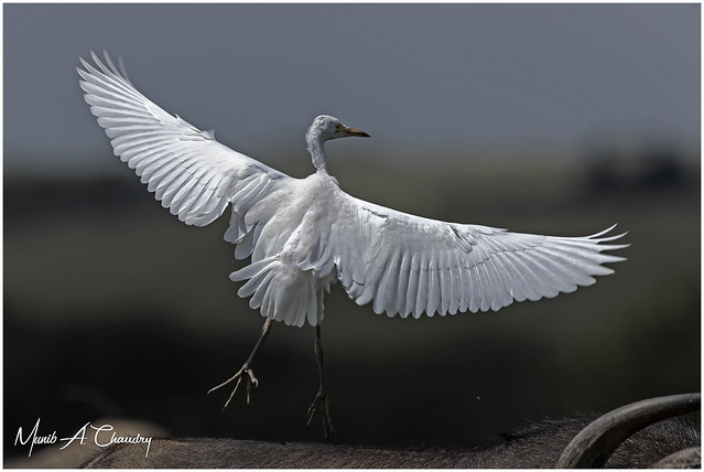 The Flight of the Egret!