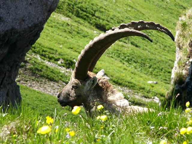 05.11.20. Bouquetin  -  The Alpine Ibex