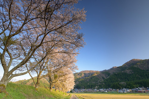 大飯郡 福井県 japan 北陸 若狭 桜 cherry 田園 field 夕景 sunset