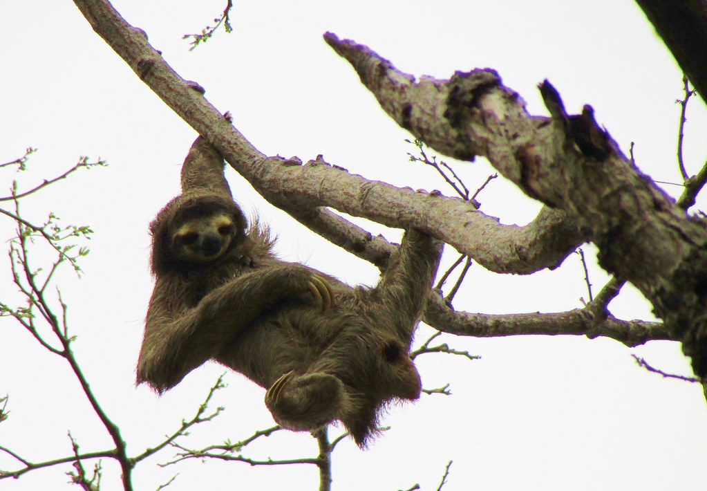 Bradypus variegatus --   Brown-throated Three-toed Sloth 3206