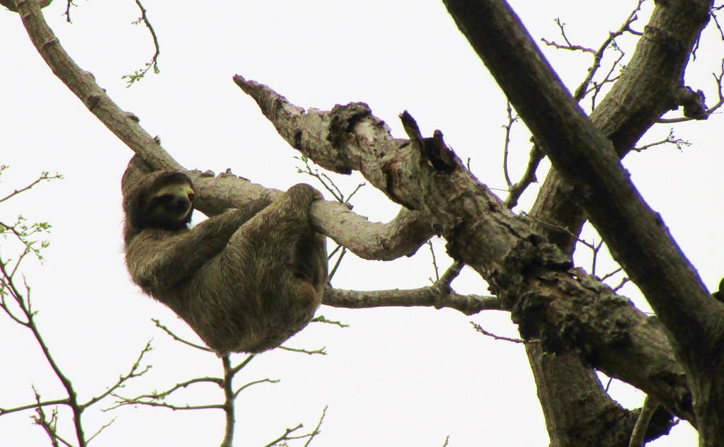 Bradypus variegatus --   Brown-throated Three-toed Sloth 3205