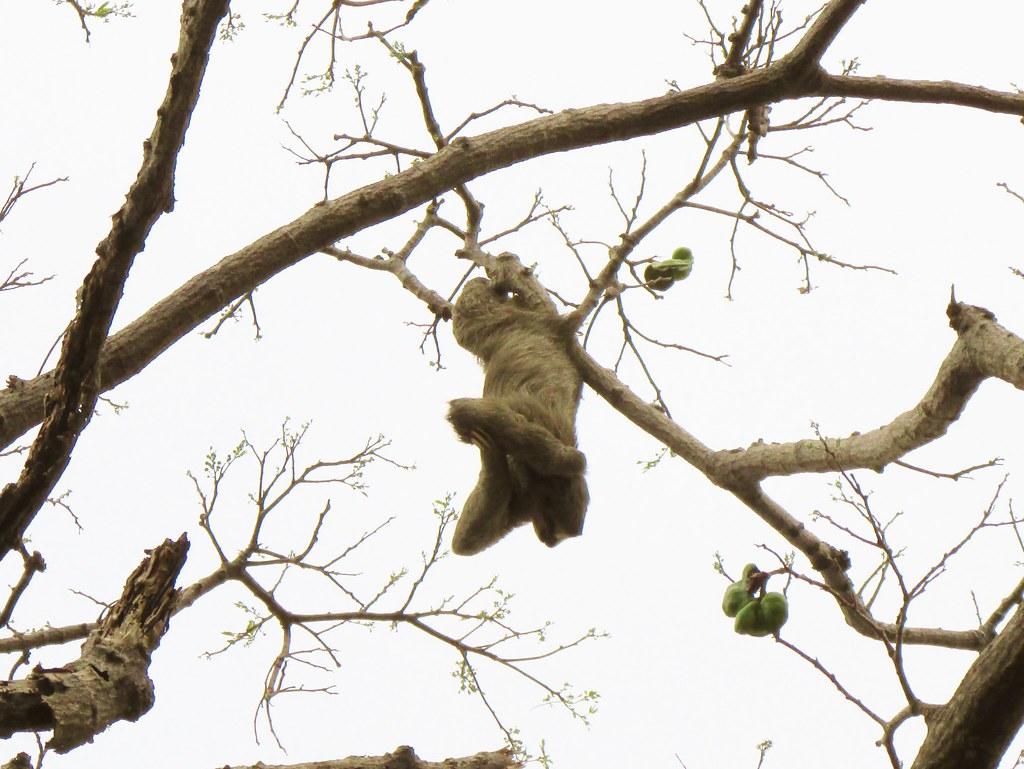 Bradypus variegatus --   Brown-throated Three-toed Sloth 3187