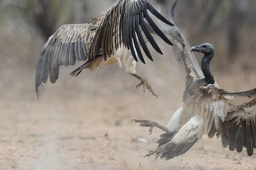 Slender-billed vultures