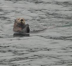 Sea otter (Enhydra lutris)-6253