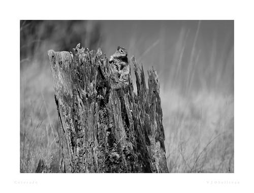 graysquirrel 2008 animal animalia chordata colorado easterngraysquirrel greysquirrel mammal mammalia northamerica rodentia sciuridae sciurus sciuruscarolinensis squirrel usa florissant