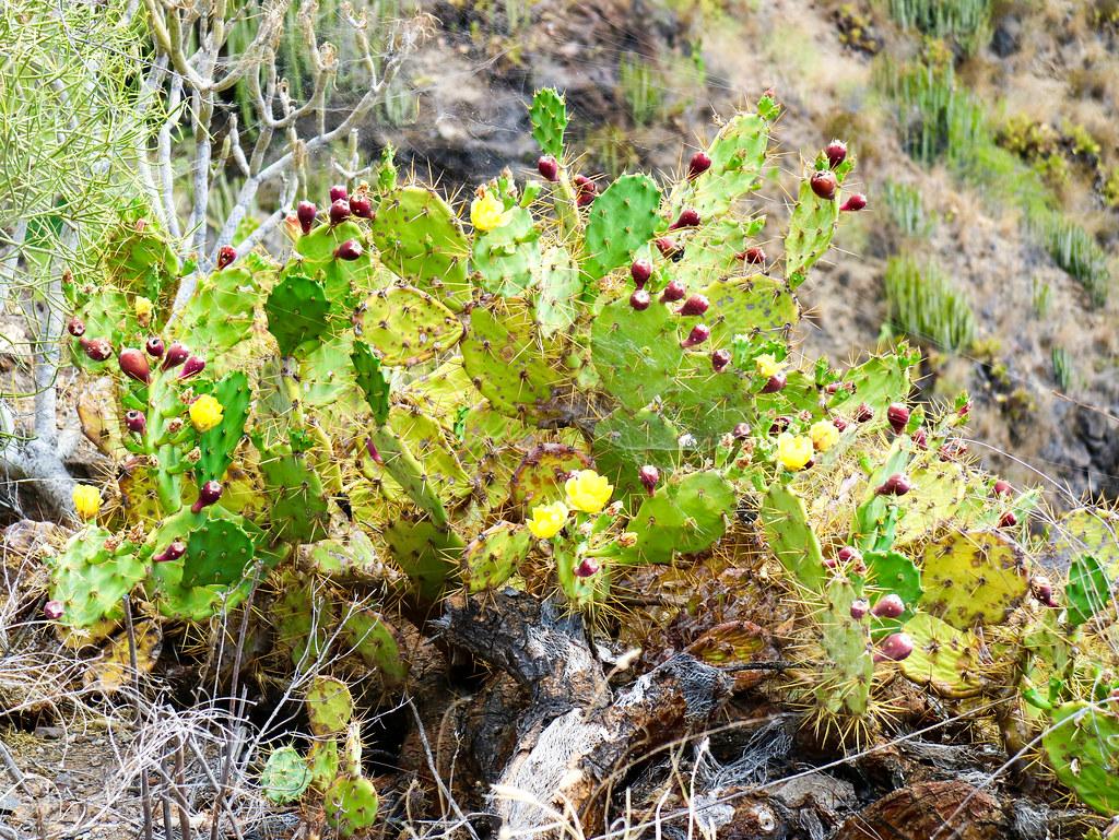 Vegetación caracteristica de Canarias