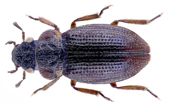 Ochthebius stygialis Orchymont, 1937