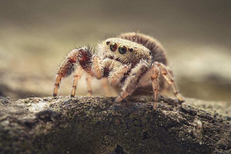 寬胸蠅虎 Salticidae