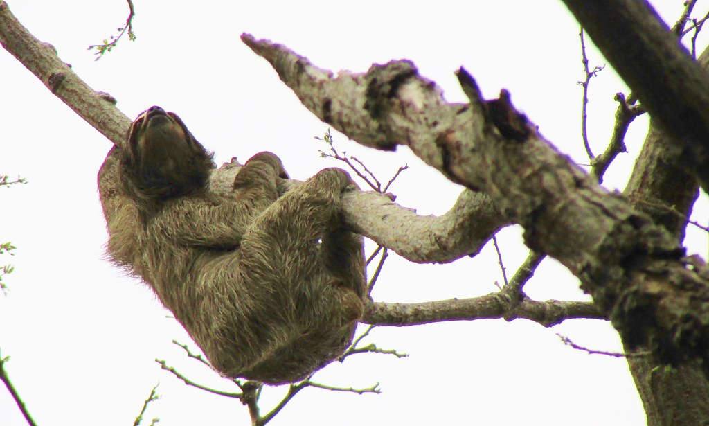 Bradypus variegatus --   Brown-throated Three-toed Sloth 3209
