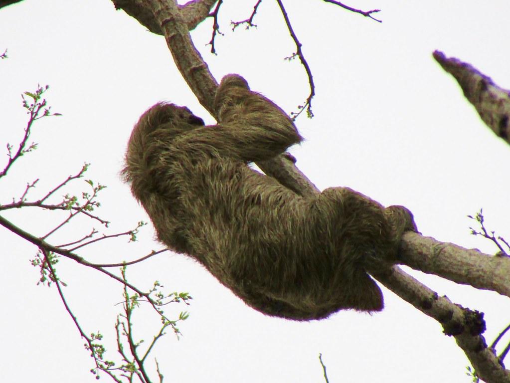 Bradypus variegatus --   Brown-throated Three-toed Sloth 3204