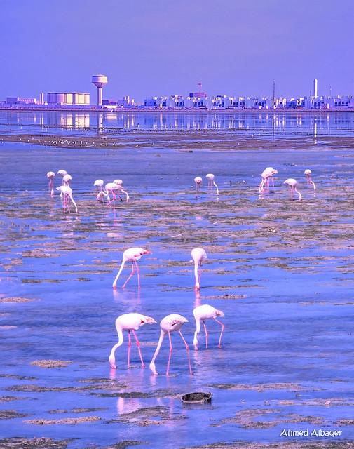 Flamingos give the sea joy and beauty .. طيور الفلامينجو تضفي على البحر البهجة و الجمال