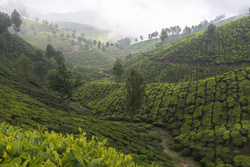 munnar teaplantations fog kodamanjuhillstation kerala india winter morning sahyamountains nilgiris sahyadri rainforests green anamudi