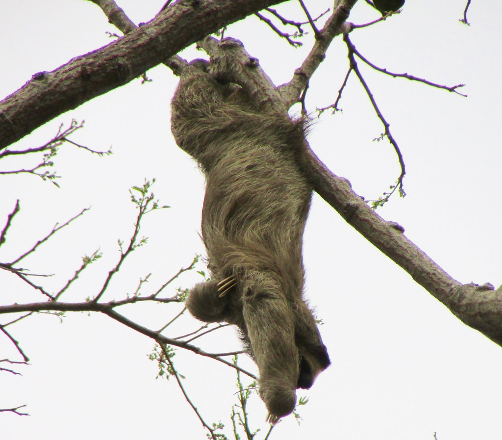 Bradypus variegatus --   Brown-throated Three-toed Sloth 3196