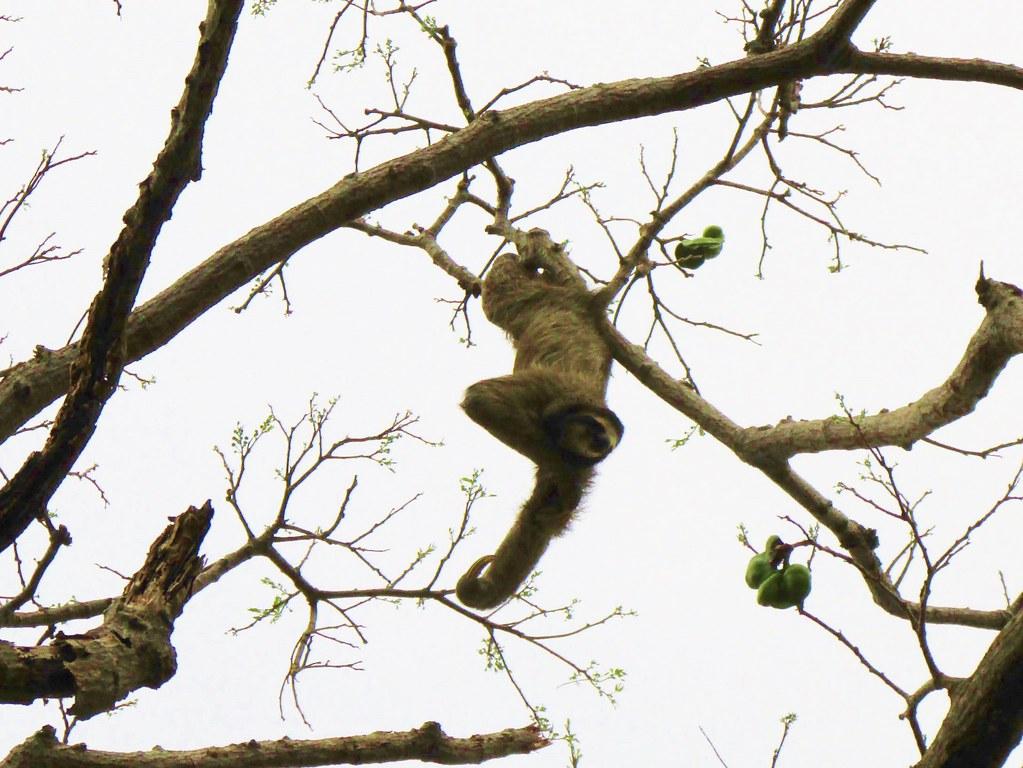 Bradypus variegatus --   Brown-throated Three-toed Sloth 3189