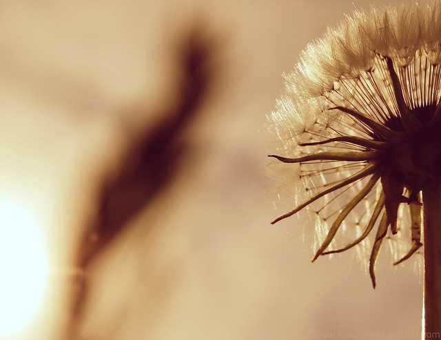 Dandelion and sun
