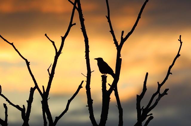 Crow before sunrise