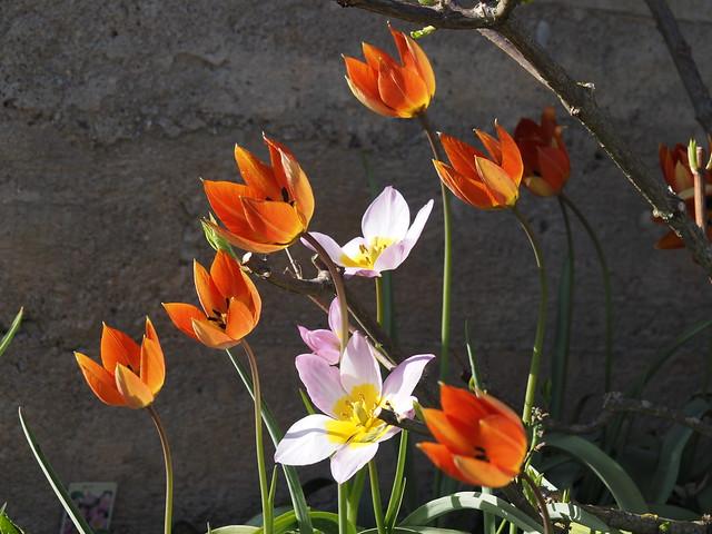 Tulipa bakeri 'Lilac Wonder' & Tulipa whittallii