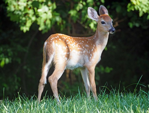 Photo of young fawn in a meadow